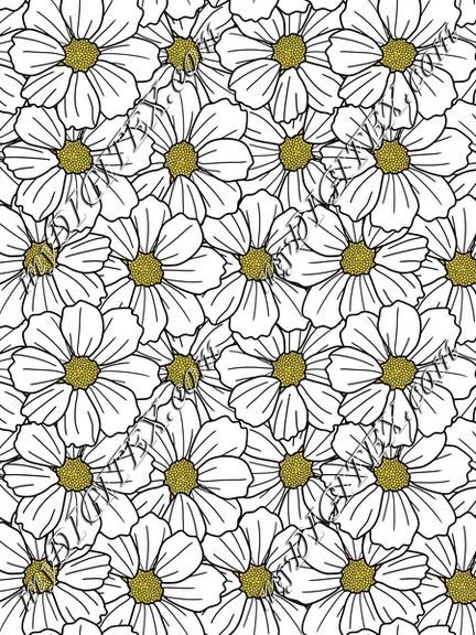 White cosmos flowers overlapping